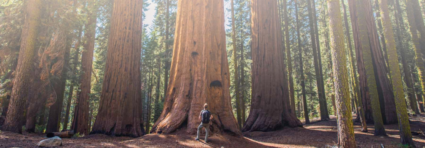 redwood-trees-01-1800x628